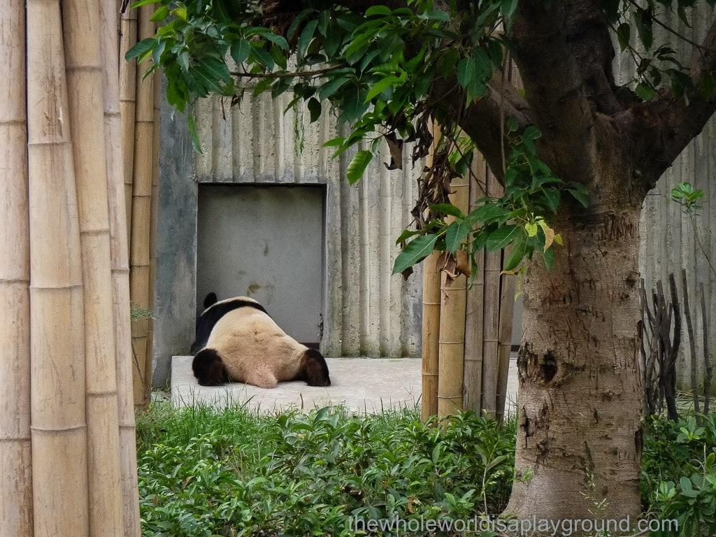 Chendgu Panda Base ©thewholeworldisaplayground