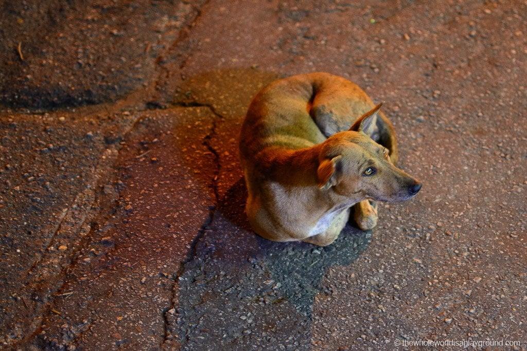 Myanmar Stray Dogs ©thewholeworldisaplayground