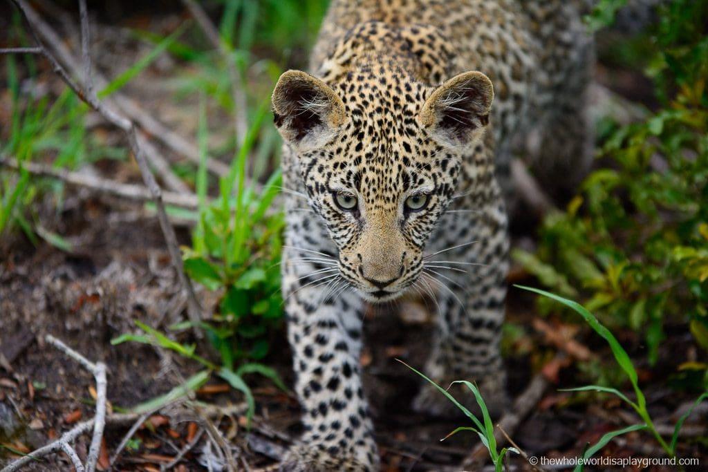 Leopard cub's intense focus