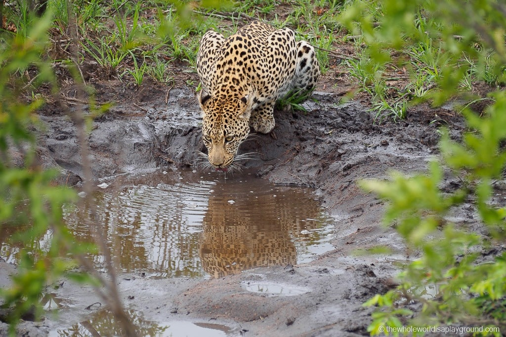 Leopard taking a water break