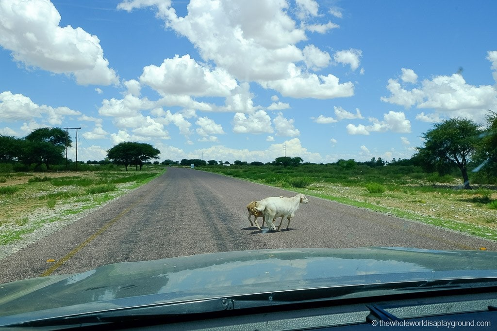 Botswana traffic...prepare for lots of animals on the road!