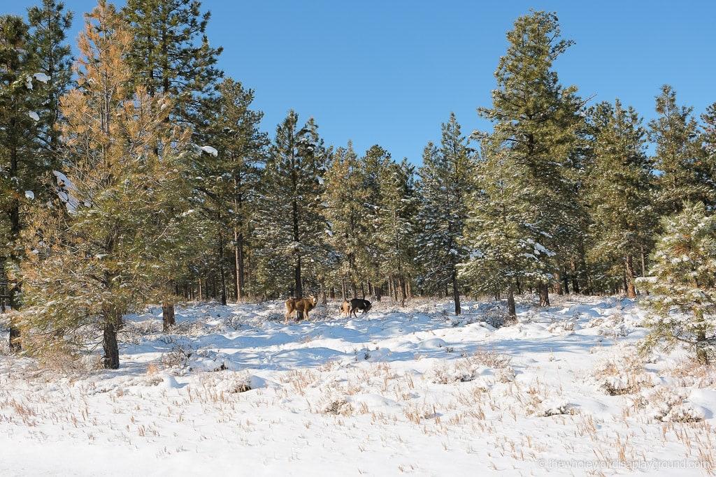 Elk in Bryce Canyon in Winter